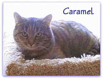 Domestic Shorthair Cat for adoption in Culpeper, Virginia - Caramel
