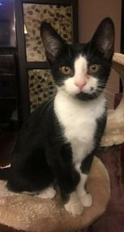 Domestic Shorthair Cat for adoption in Rochester, Michigan - Madison