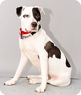 Great Dane/Bulldog Mix Dog for adoption in Houston, Texas - Lady