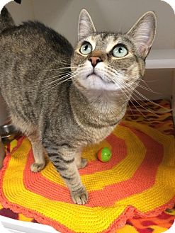 Domestic Shorthair Cat for adoption in Bellingham, Washington - Fritzy
