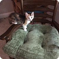 Adopt A Pet :: Cali - Sugar Land, TX
