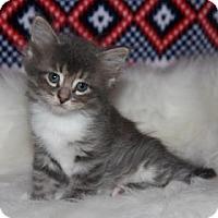 Adopt A Pet :: Sleepy Kitty - Mission, KS