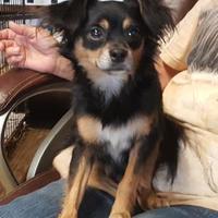 Adopt A Pet :: Mini Man - Livingston, TX