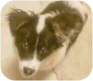 Border Collie Mix Puppy for adoption in Minerva, Ohio - Cooper