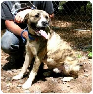 American Bulldog Mix Dog for adoption in Cleveland, Georgia - Chaps