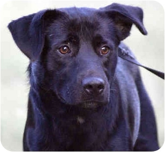 Labradoodle Mix Dog for adoption in Spring Valley, New York - Cisco