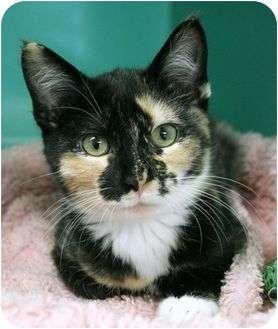 Domestic Shorthair Kitten for adoption in Phoenix, Oregon - Blinkin