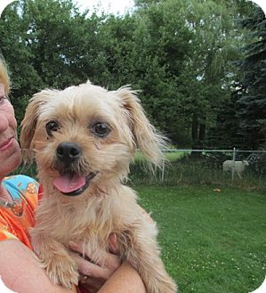 Yorkie, Yorkshire Terrier/Shih Tzu Mix Dog for adoption in Long Beach, New York - Kerry