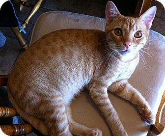 Domestic Shorthair Cat for adoption in Hendersonville, Tennessee - Red