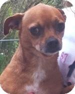 Chihuahua Mix Dog for adoption in Orlando, Florida - Freddie