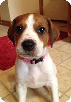 Beagle Mix Puppy for adoption in Richmond, Virginia - MaryAnn