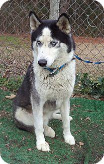 Siberian Husky Dog for adoption in Marietta, Georgia - JACQUES