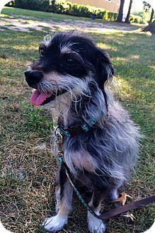 Schnauzer (Miniature)/Border Terrier Mix Dog for adoption in Worcester, Massachusetts - Einstein