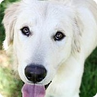 Adopt A Pet :: Kodiak - Austin, TX