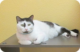 Domestic Shorthair Cat for adoption in Benbrook, Texas - Houdini