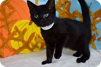 Domestic Shorthair Kitten for adoption in Bradenton, Florida - Sabrina