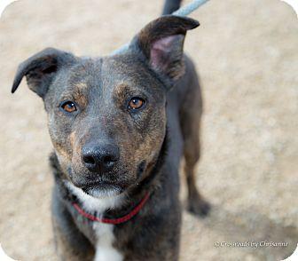Terrier (Unknown Type, Medium)/Australian Cattle Dog Mix Dog for adoption in Sierra Vista, Arizona - Junior