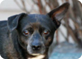 Schipperke/Terrier (Unknown Type, Small) Mix Dog for adoption in Portola, California - Dexter