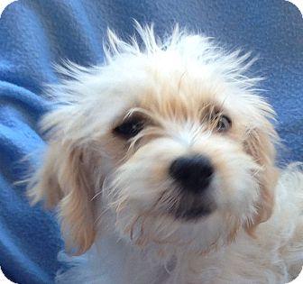 Havanese Puppy for adoption in Carlsbad, California - WHISPER