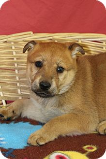 Shepherd (Unknown Type)/Retriever (Unknown Type) Mix Puppy for adoption in Waldorf, Maryland - Ireland