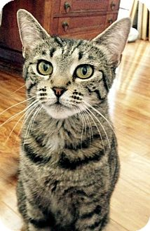 Domestic Shorthair Cat for adoption in Las Vegas, Nevada - Kiwi