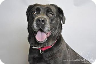 Cane Corso Mix Dog for adoption in Brooklyn, New York - Zoe