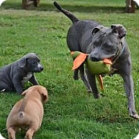 Adopt A Pet :: Naomi, Judd, & Ashley - Athens, GA