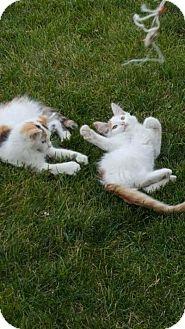 Domestic Longhair Kitten for adoption in Chicago, Illinois - Peter