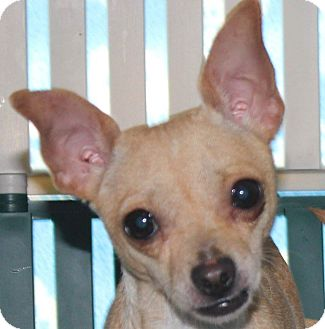 Chihuahua Mix Dog for adoption in Colonial Heights, Virginia - Daisey