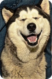 Husky Mix Dog for adoption in Kalamazoo, Michigan - Nikita