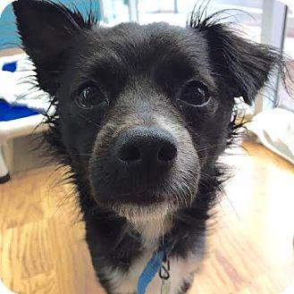 Chihuahua Mix Dog for adoption in Philadelphia, Pennsylvania - Chuckie