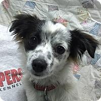 Adopt A Pet :: Joey - Vacaville, CA