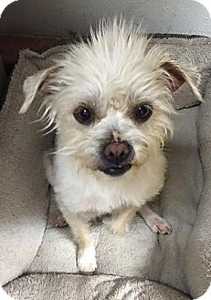 Shih Tzu/Terrier (Unknown Type, Small) Mix Dog for adoption in Tijeras, New Mexico - Tanner