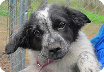 Retriever (Unknown Type)/Spaniel (Unknown Type) Mix Puppy for adoption in Plainfield, Connecticut - Maizy