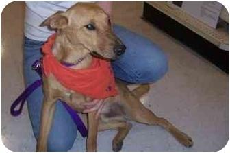 German Shepherd Dog Mix Dog for adoption in Scottsdale, Arizona - Dorrito