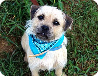 Cairn Terrier/Pug Mix Dog for adoption in Muldrow, Oklahoma - Drex