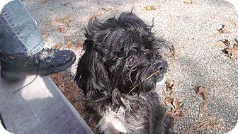 Shih Tzu/Shih Tzu Mix Dog for adoption in Muskegon, Michigan - Peasley