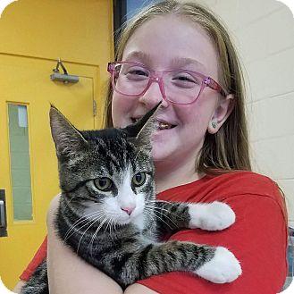 Manx Kitten for adoption in Elyria, Ohio - Rocky Balboa