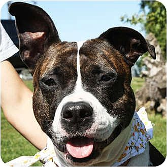 American Bulldog/American Staffordshire Terrier Mix Dog for adoption in Huntley, Illinois - Abby