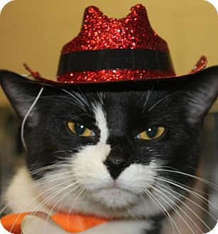 Domestic Shorthair Cat for adoption in Clayton, New Jersey - KISHA