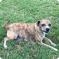 Adopt A Pet :: Gigi - Boston, MA