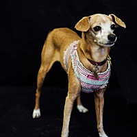 Italian Greyhound/Chihuahua Mix Dog for adoption in Studio City, California - Serena