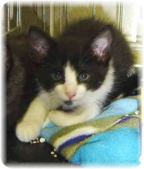 Maine Coon Kitten for adoption in Naples, Florida - Liam