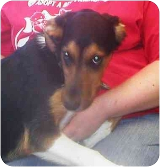 Shepherd (Unknown Type) Mix Puppy for adoption in Little Falls, Minnesota - Olive