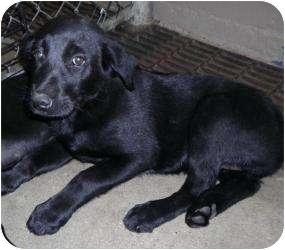 Labrador Retriever Mix Puppy for adoption in Gaffney, South Carolina - Raven