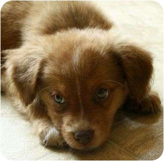 Golden Retriever Mix Puppy for adoption in Staunton, Virginia - Bailey