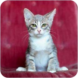 Domestic Shorthair Kitten for adoption in Ft. Lauderdale, Florida - Anthony