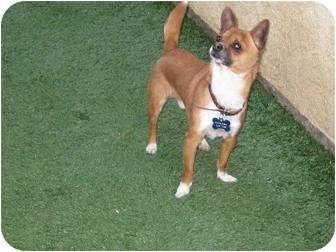 Chihuahua Dog for adoption in Torrance, California - JoJo