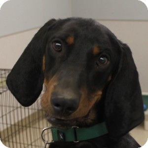 Coonhound Dog for adoption in Naperville, Illinois - Ronan