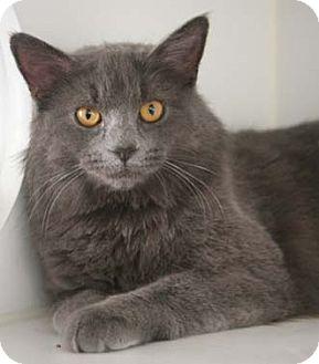 Domestic Mediumhair Cat for adoption in Merrifield, Virginia - Kayla